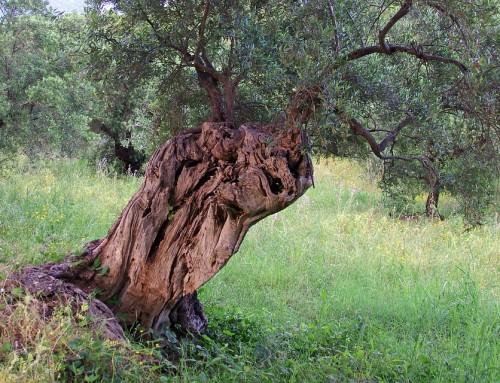 La Ruta de los olivos centenarios de Órgiva